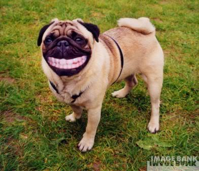 dog pug smiling