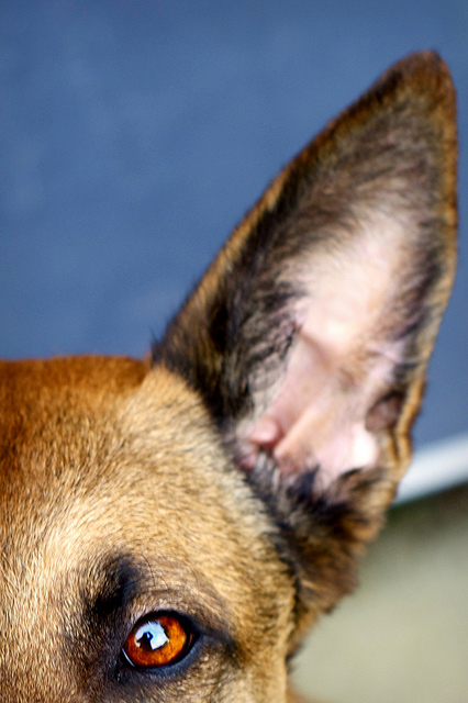 Shepard Mix Eye & Ear 426
