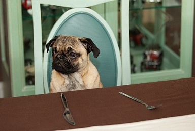 Pug at Table Set