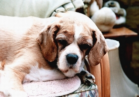 Tips to Keep Your Aging Dog Comfortable & Healthy