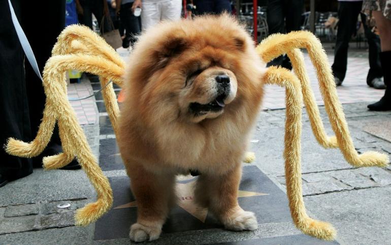 Chow Spider Halloween